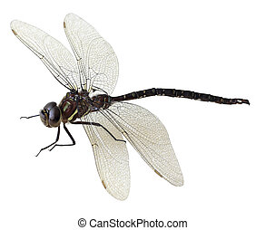 Black green dragonfly - Black and green dragonfly isolated...