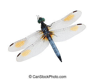 Blue dragonfly - Single blue dragonfly isolated on white...