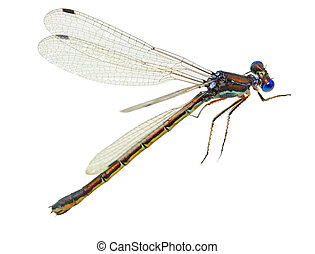 Tiny Blue dragonfly - Tiny blue dragonfly isolated on white...