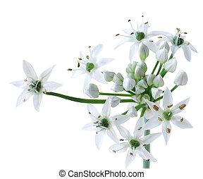 Chinese Chives Flower - Chinese allium tuberosum chives...
