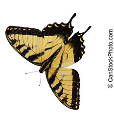Easter Tiger Swallowtail Butterfly opening wings isolated on...