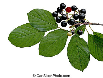 Black berry buckthorn branch and leaf isoalted on white...