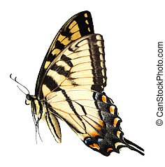 Easter Tiger Swallowtail Butterfly isolated on white...