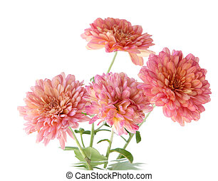 Pink Mum - Fresh pink hardy mum flowers isolated on white