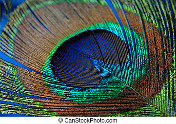Peacock Feather - Colorful peacock feather texture...