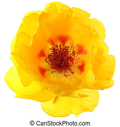 Grandiflora - Single portulaca grandiflora isolated on white...