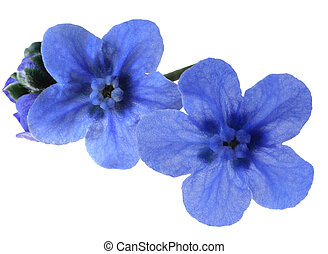 Forget-me-not - Macro forget-me-not flower isolated on white