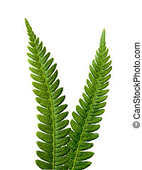 Two ferns forming a v shape isolated on white