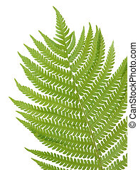 Fern - Fresh fern leaf isolated on white background