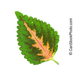 Solenostemon Leaf - solenostemon coleus leaf isolated on...