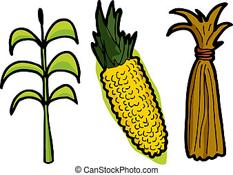 Corn in Three Stages - Corn as a plant, freshly picked, and...