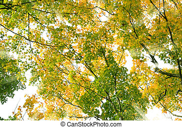 Sunburst through branches of yellow maple leaves