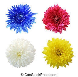 Mum set - Set of four aster mum flower heads, isolated on...