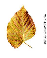 Cottonwood Leaf - single cottonwood leaf isolated on white...
