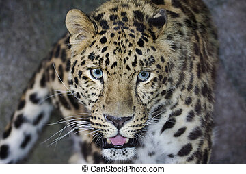 Amur Leopard looking directly into the camera.