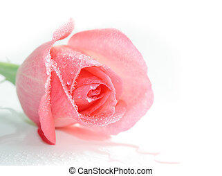 Rose and waterdrops