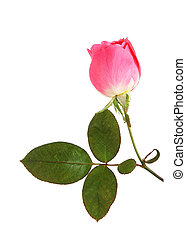 Pink Rose - single fresh pink rose isolated on white