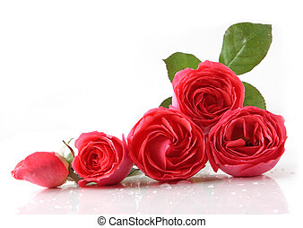 Five roses - Five fresh roses reflecting on white background