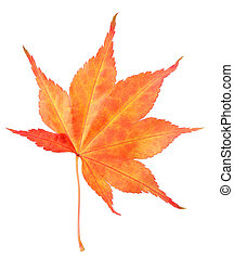 Red maple leaf - Single autumn red maple isolated on white