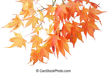 Maple - Autumn maple branch isolated on white background