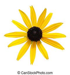 black eyed susan - Fresh black-eyed-susan flower isolated on...