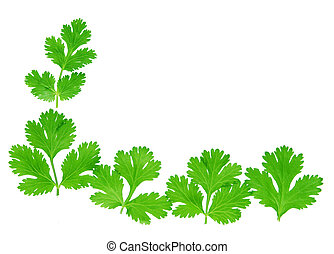 Cilantro - Fresh green cilantro leaves isolated on white
