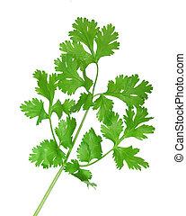 Cilantro - fresh cilantro coriander branch isolated on white