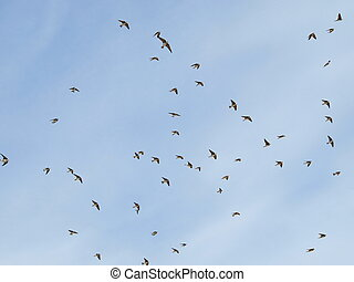 Sand Martin flock of birds swallows