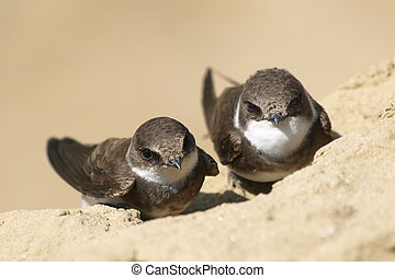 Beautiful swallow Sand Martin, riparia riparia