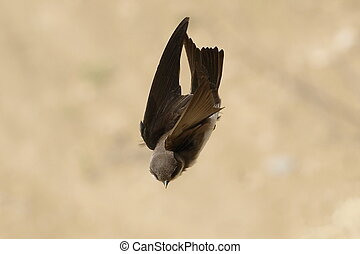 Sand Martin, swallow in flight, riparia riparia