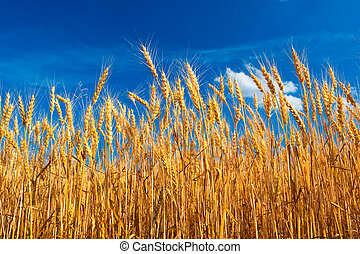 Field on yellow wheat onder blue sky - Feeld on yellow wheat...
