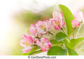 Crab apple tree blossom in spring