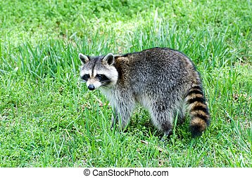 Raccoon in a yard in the afternoon