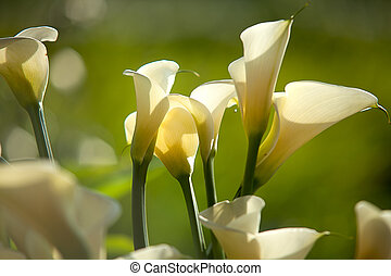 Close up Calla Lily with black background