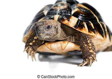 turtle isolated on a white background.Still-life photo
