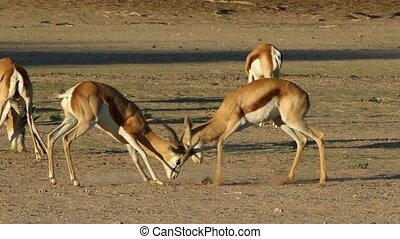 Fighting springbok - Two male springbok antelopes...