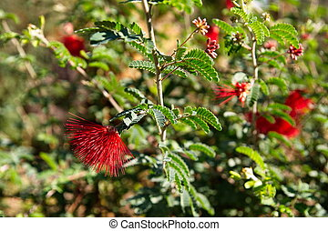 Red Blooms on a Mimosa Tree