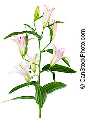 pink lily - beautiful pink lily on white background