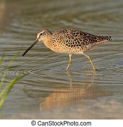 Red Knot in breeding plumage walking in shallow water