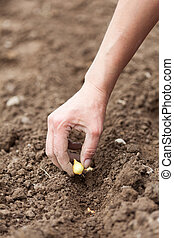Woman hand planting shallot - Closeup of a womans hand...