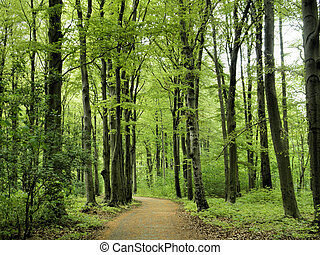 Beech forest in the spring