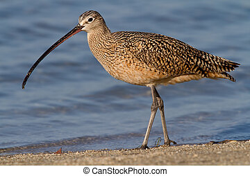 Long-billed Curlew (Numenius americanus) - Adult Long-billed...