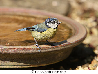 Blue Tit - A male Blue Tit cooling off in a water bowl