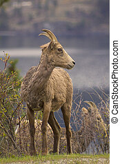 Portrait of wild bighorn sheep in spring in Kelowna -...