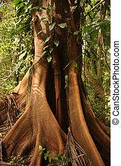 Ceiba, tropical tree, Tayrona National Park - Trunk of a...