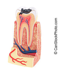 Tooth anatomy - tooth anatomy (vital tooth, structure, bone,...