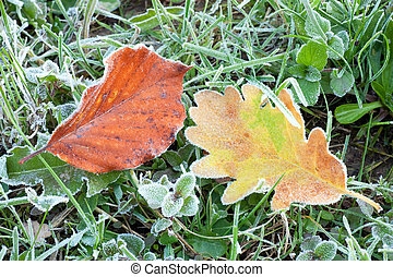 Dry oak leaf with hoarfrost - autumn oak leaf and beech leaf...