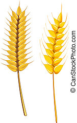 Ripe wheat and barley isolated on white for agriculture...