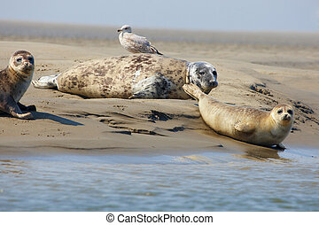 Seals on a sandbank - Seal mother with her babies close...