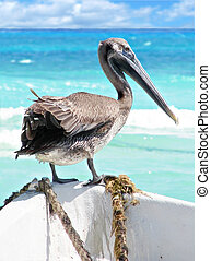 Brown pelican on boat - Young brown pelican fishing from the...